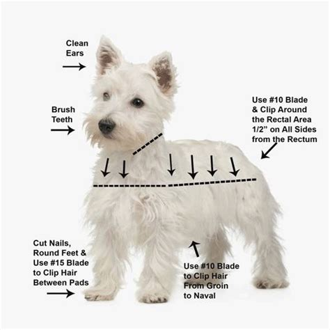 pictures of haircuts for westies dogs west highland terrier westie grooming video dvd