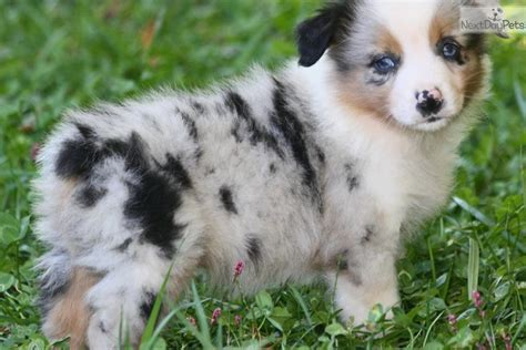 blue merle australian shepherd puppies australian shepherd puppy for sale near cookeville tennessee 5646a99d 6791