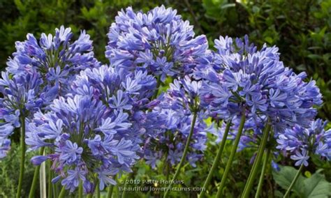 lily of the nile agapanthus flowers and other plant life pinterest flowering shrubs