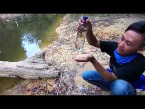 Pakan Ikan Hias Tiger Fish gk usah beli tanaman buat aquascape nyari di curug juga