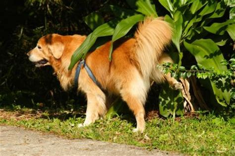 how often should a puppy urinate frequent incontinence or lack of housetraining