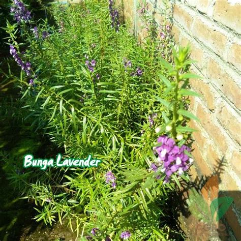 Harga Bibit Bunga Lavender jual bibit bunga lavender ungu agro bibit id