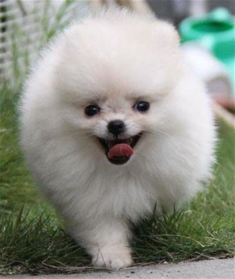 average lifespan of a pomeranian pin by cathy edgman pippin on poms pom poms
