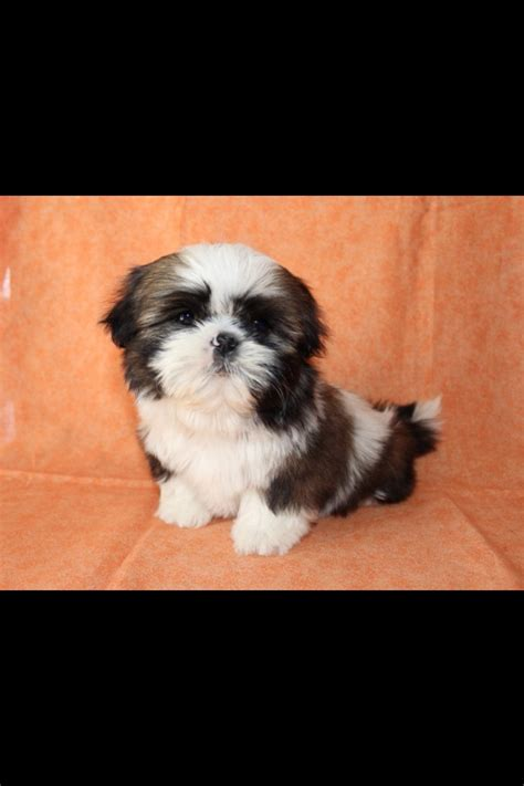 shih tzu baby shih tzu images bilbo s baby pictures hd wallpaper and background photos 35602051