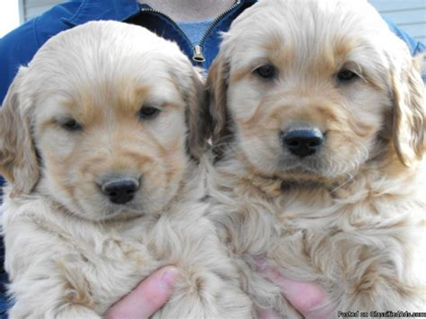 golden retriever puppies for sale in washington state akc golden retriever breeders washington state dogs in our photo