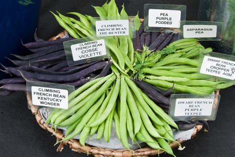 types of garden beans bean pea varieties labeled plant flower stock