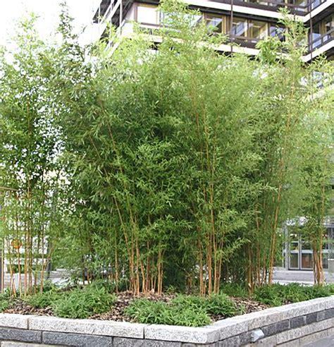 Bambus Im Kübel Kaufen 63 by Bambus Im K 252 Bel Kaufen Viac Ne 1000 N Padov Obambus