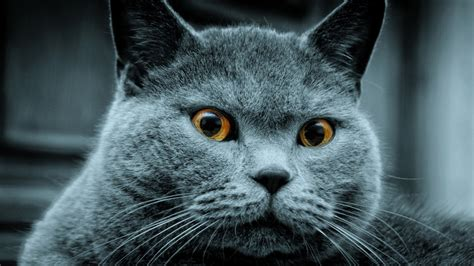 Hd 14 Grey Orange animals grey cat orange hd 1366 215 768 hd wallpaper hd