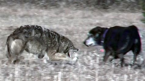 coyote attacks coyote attacks unleashed pet
