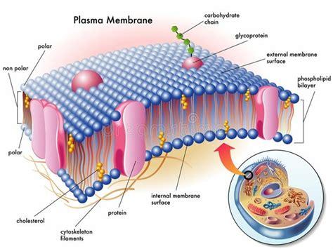 components   plasma membrane quora