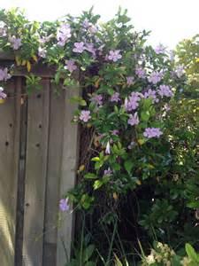 purple trumpet vine climbing flowers vines pinterest