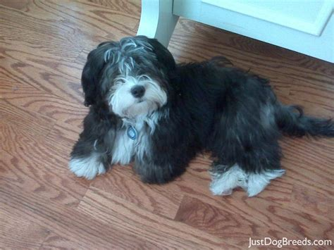 what is a havanese breed coach havanese breeds