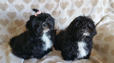 shih tzu for sale manchester shih tzu puppies for sale leigh greater manchester