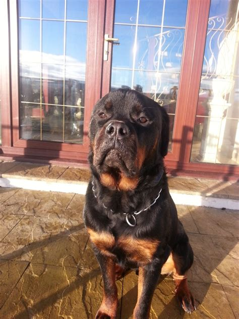 rottweiler 1 year docked rottweiler 1 year lanark lanarkshire pets4homes