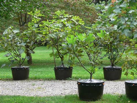 best fig what is the best container size for figs trees