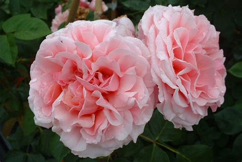 top 28 climbing roses that bloom all summer spray