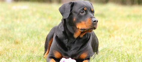 rottweiler origin and history rottweiler breed mypetzilla