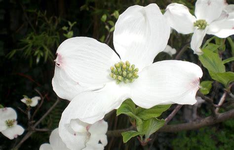 fiore portafortuna il cornus da fiore la pianta porta fortuna fuori di verde