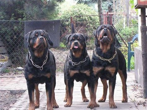 roan rottweiler german rottweiler american rottweiler rottweiler can all these labels