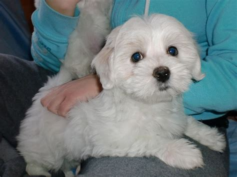 coton de tulear puppies for sale in for sale coton de tulear puppies coton de tulear gracie pinter