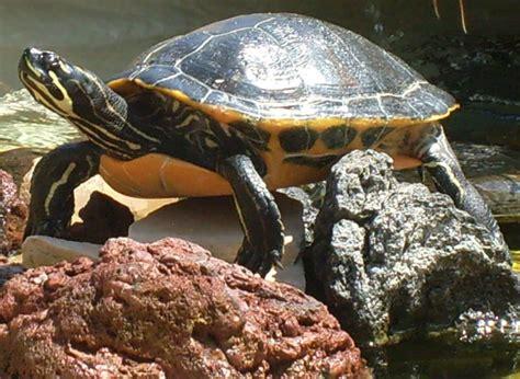 aquatic turtle free stock photo public domain pictures