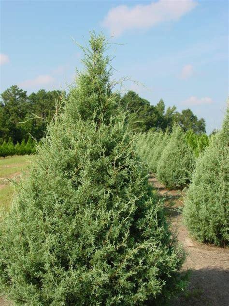 best 28 arizona cypress christmas tree head to