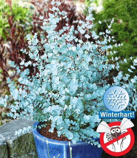 Winterharter Eukalyptus Azura 174 Immergr 252 Ne Str 228 Ucher