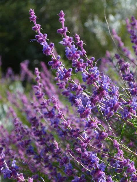 most fragrant lavender plant the fragrant garden a word on the fragrance of