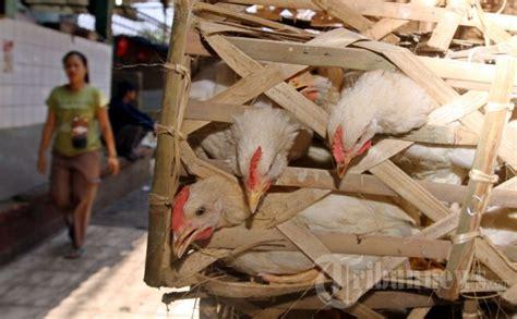 Ayam Bibit Broiler Per Ekor harga ayam tembus rp 70 ribu per ekor tribunnews