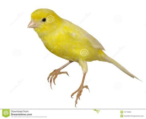 canaries bird yellow stock photos yellow canary serinus canaria isolated on white stock