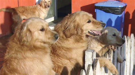 new golden retrievers stray golden retrievers from turkey find new in u s cbs news