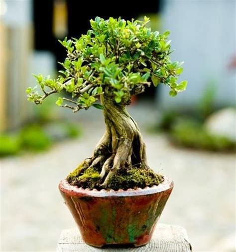 caf礙 olmo bonsai progression lonicera nitida bonsai