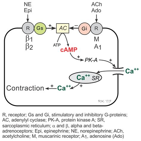 g protein pathway 100 g protein coupled receptors regulate prodeath