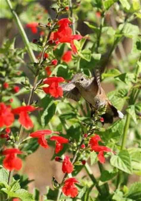 hummingbird flower seed mixture 2 lb bag hummingbird