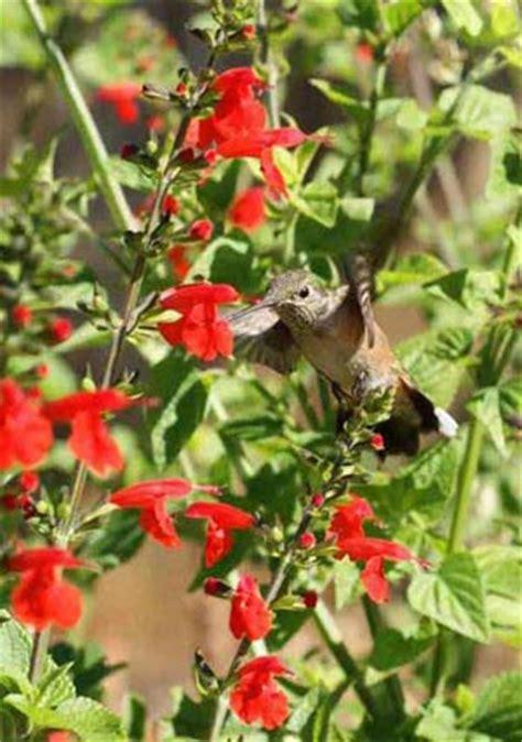 hummingbird flower seed mixture 2 lb bag hummingbird