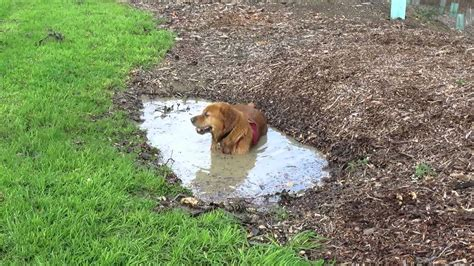 silly golden retriever this silly golden retriever got himself into a muddy situation a s