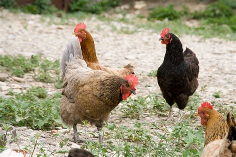 preparedness and survival keeping backyard chickens for