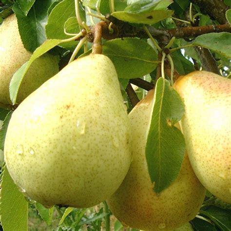 ornamental pear tree fruit pear beth buy beth pear trees pear tree