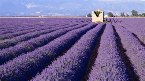 Lavendelfelder Provence by Provence In Frankreich Reise Durch Lavendel Felder