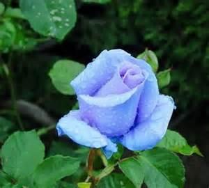 avenger blog blue rose flower