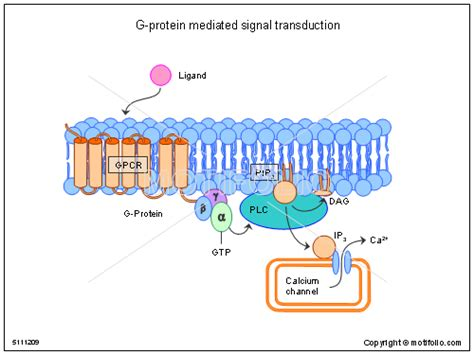 g protein signal transduction g protein mediated signal transduction illustrations
