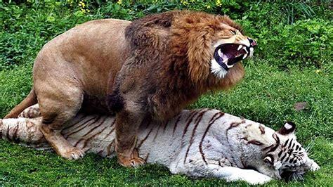 imagenes reales wikipedia 10 animales h 237 bridos reales que no sab 237 as que exist 237 an