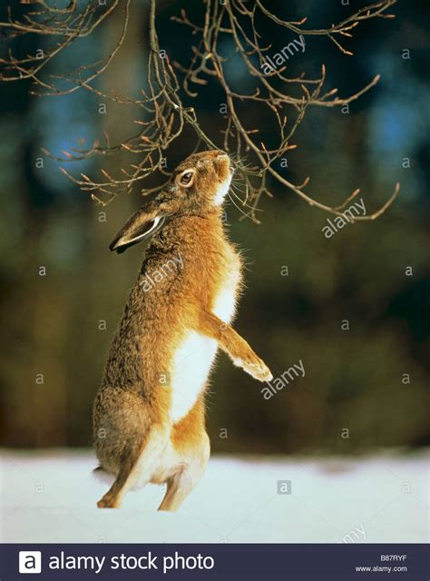 how to your to stand on hind legs european hare lepus europaeus standing upright on its hind legs in stock photo