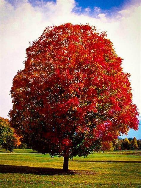 buy a maple tree buy maple trees the tree center
