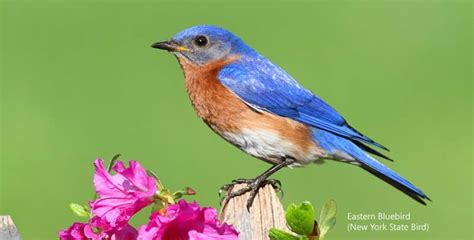 eastern bluebird new york sialia sialis ny state bird
