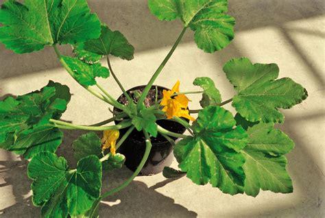 zucchine in vaso zucchine in vaso poco cresciute e appassite vita in cagna