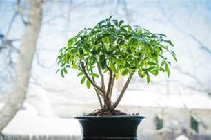 small indoor trees indoor bonsai tree indoor bonsai species small
