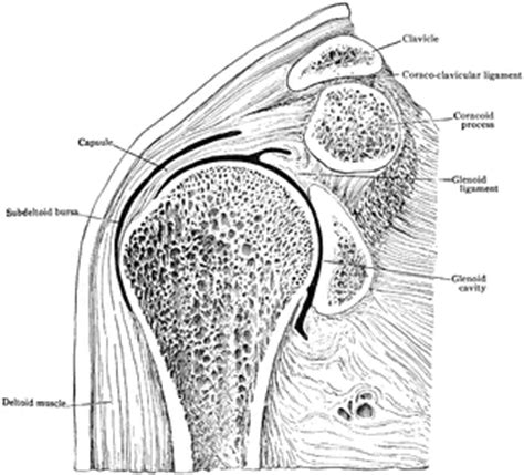 frontal section of hip joint frontal section through shoulder joint clipart etc