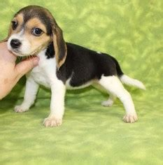 beagle puppies for sale in az view ad beagle puppy for sale arizona tucson usa