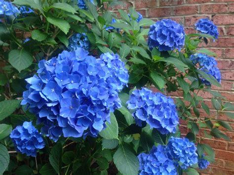 shade hydrangea top 10 shade plants for houston kingwood garden center